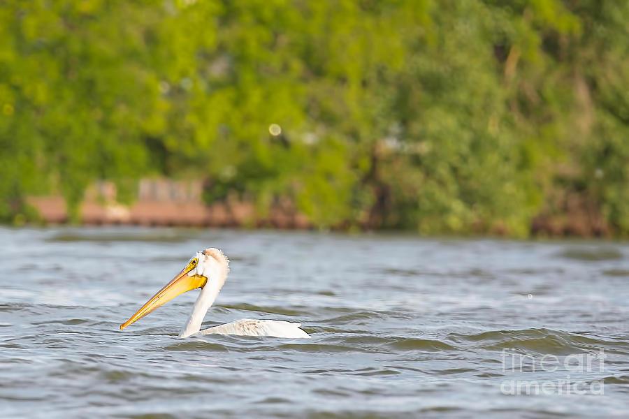 White Pelican Photograph - Pelican Drifting Along by Nikki Vig
