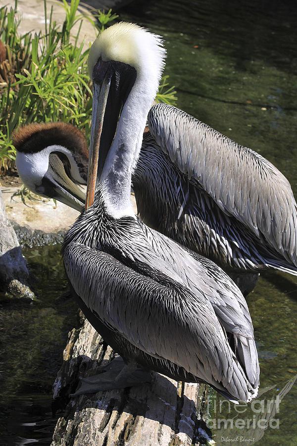 Birds Photograph - Pelican Duo by Deborah Benoit