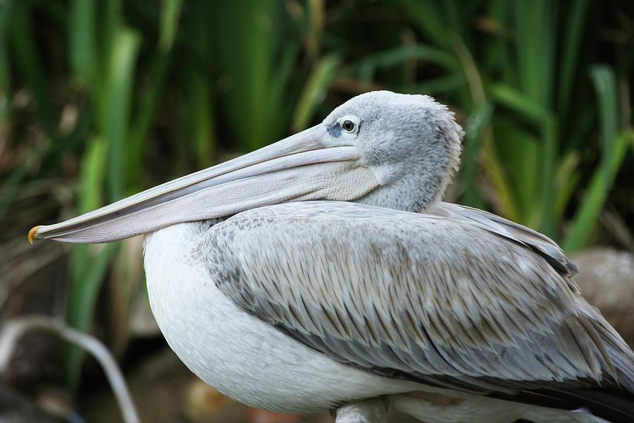 Pelican by Eric Foltz