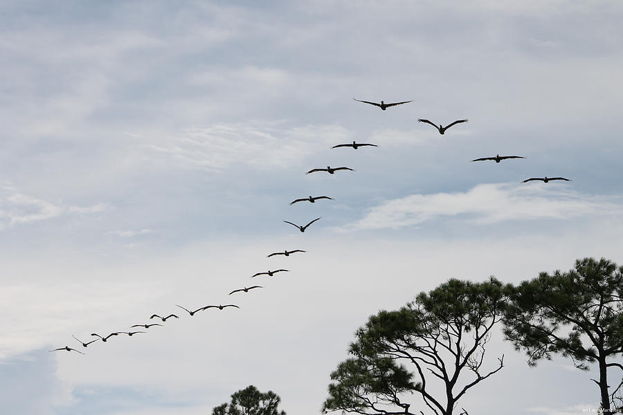 Bird Photograph - Pelican Formation by Laura Martin