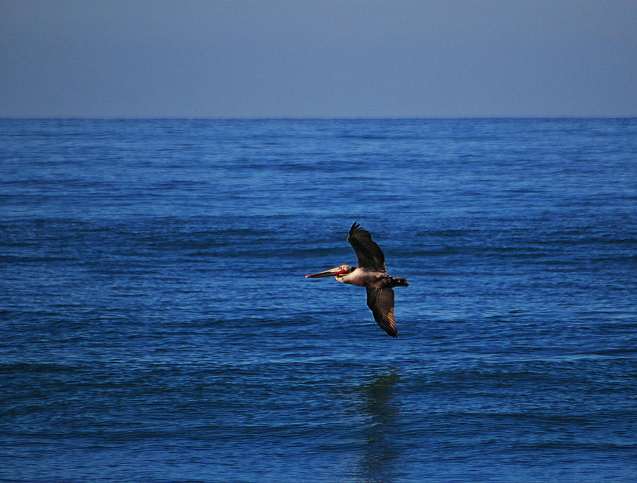 Pelican Gliding Above the Ocean by Richard Cheski