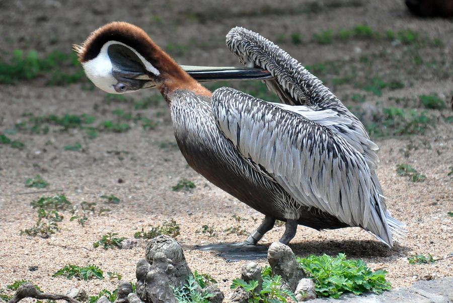 Bird Photograph - Pelican Heart by Teresa Blanton