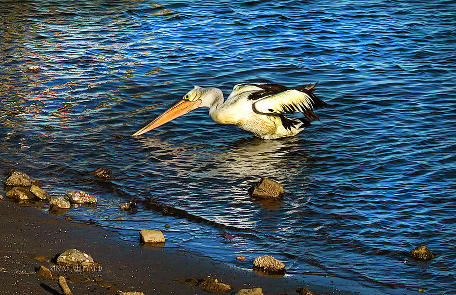 Pelican Photograph - Pelican In Action by Susan Vineyard