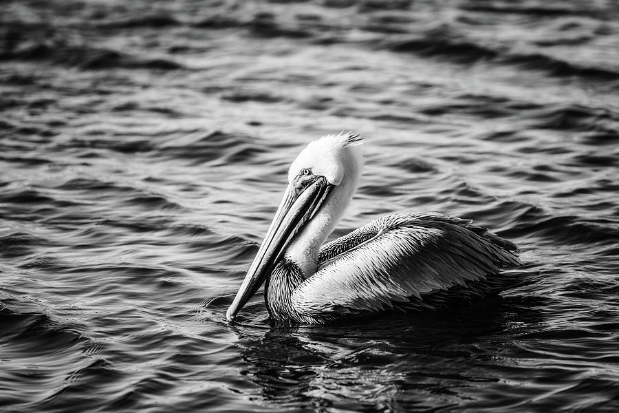 Brown Pelican Photograph - Pelican In Black And White by Michael McStamp