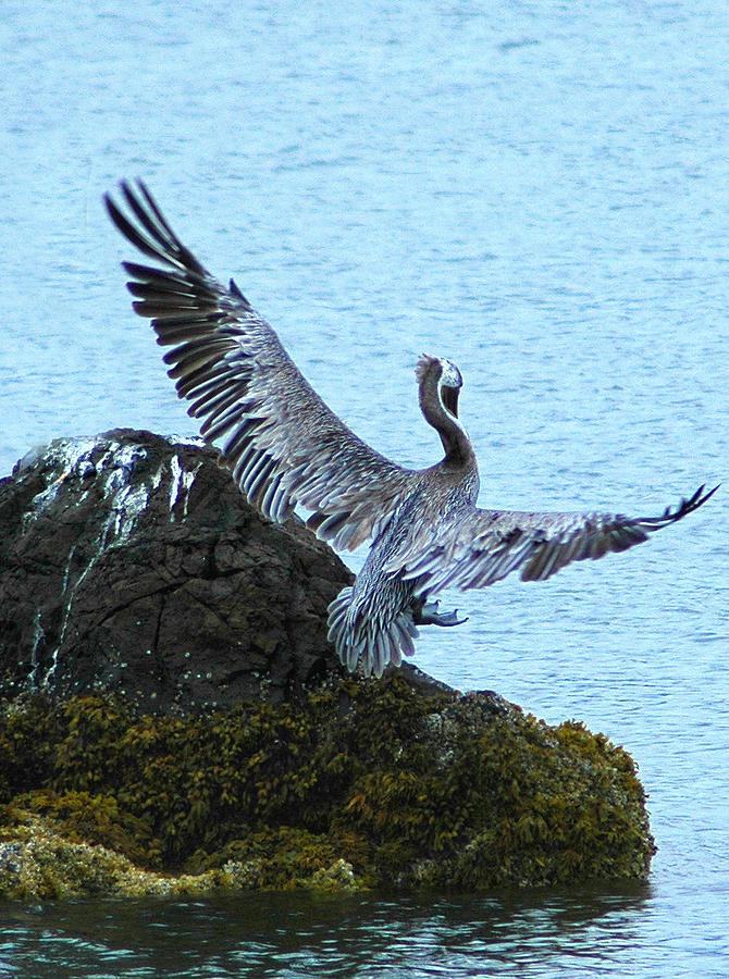 Pelican Photograph - Pelican In Flight by JoAn Yost
