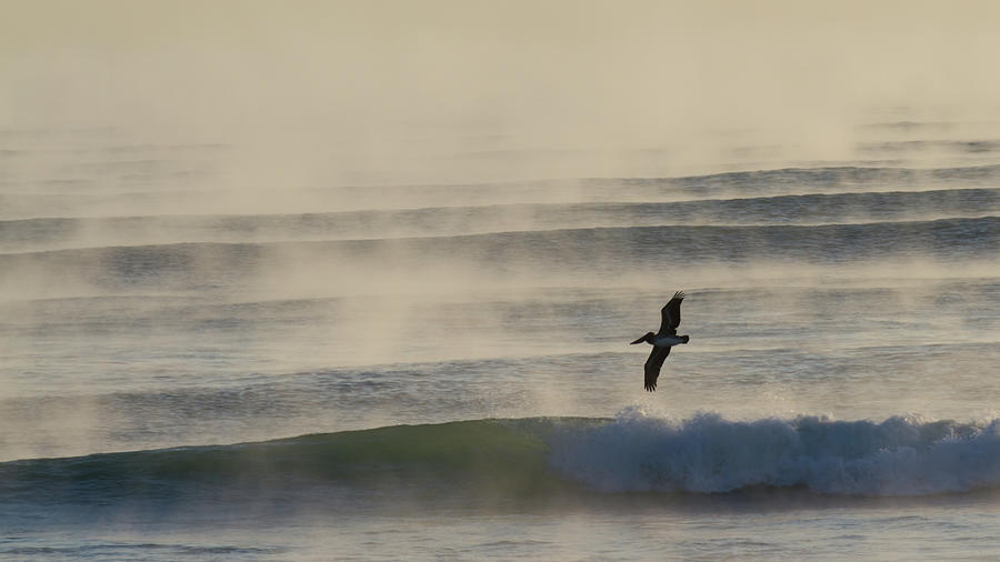 Pelican In Sea Smoke Photograph