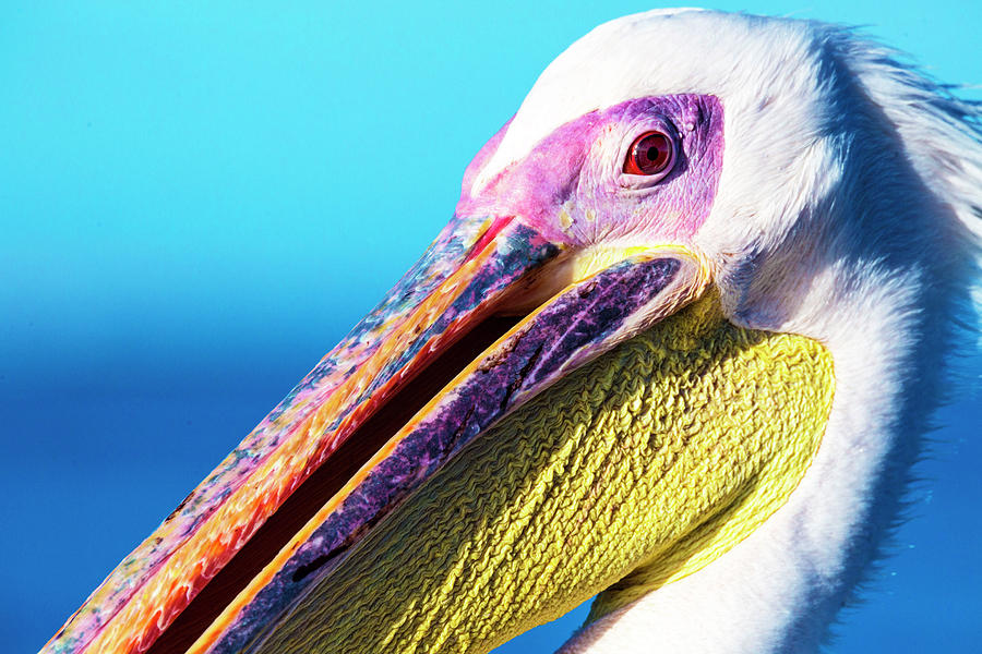 Pelican Photograph - Pelican by Matt Cohen
