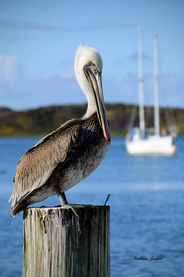 Images Of Pelican Paintings