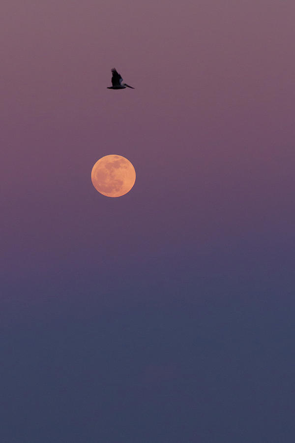 Pelican Over The Moon Photograph
