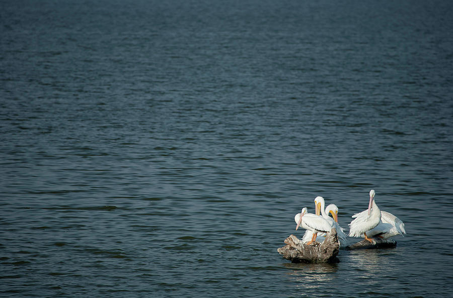 Alton Photograph - Pelican Pals by Mark Braun