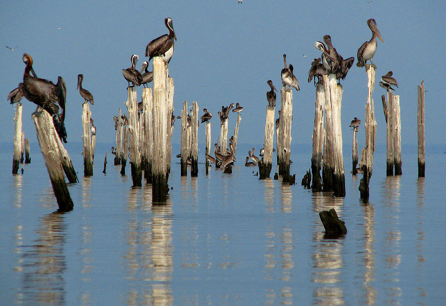 Pelican Pilings by Val Jolley