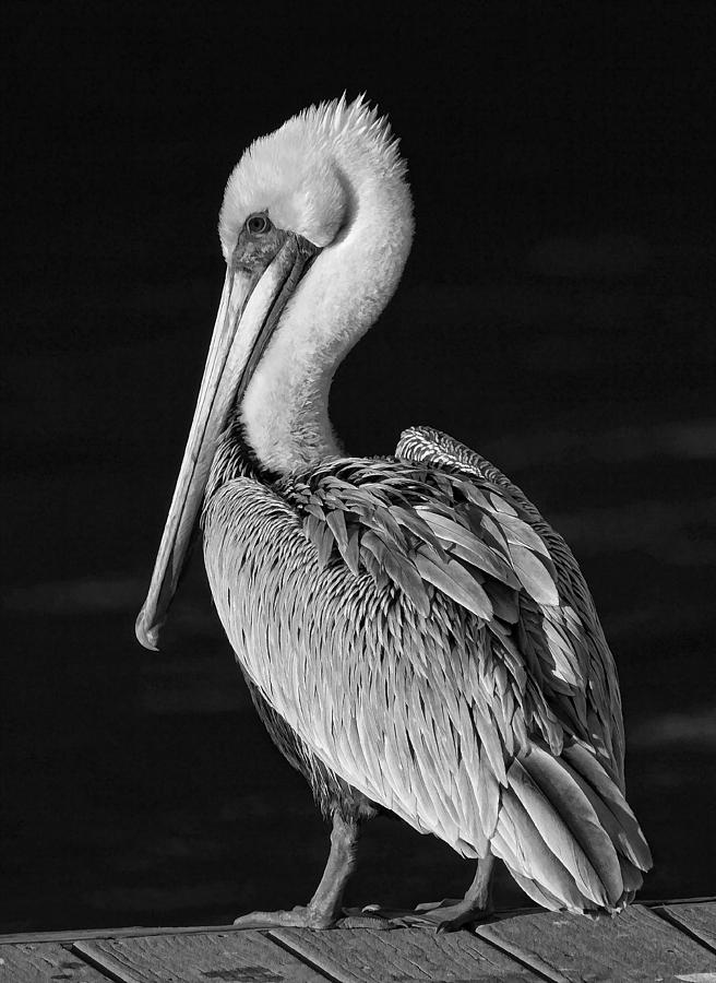 Black and white pelican photograph pelican portrait black and white by hh photography of