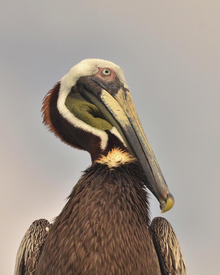 Pelican Photograph - Pelican Portrait by Nancy Landry