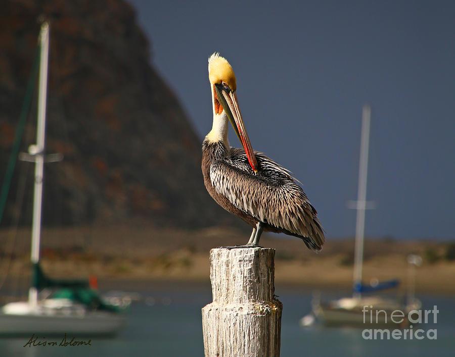 Pelican Preening by Alison Salome