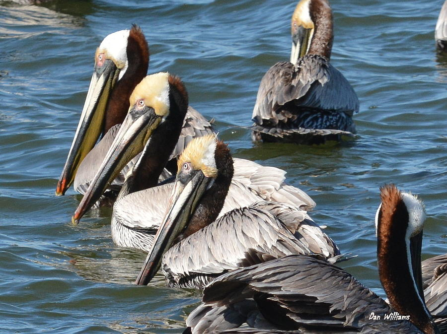 Pelican Profiles by Dan Williams