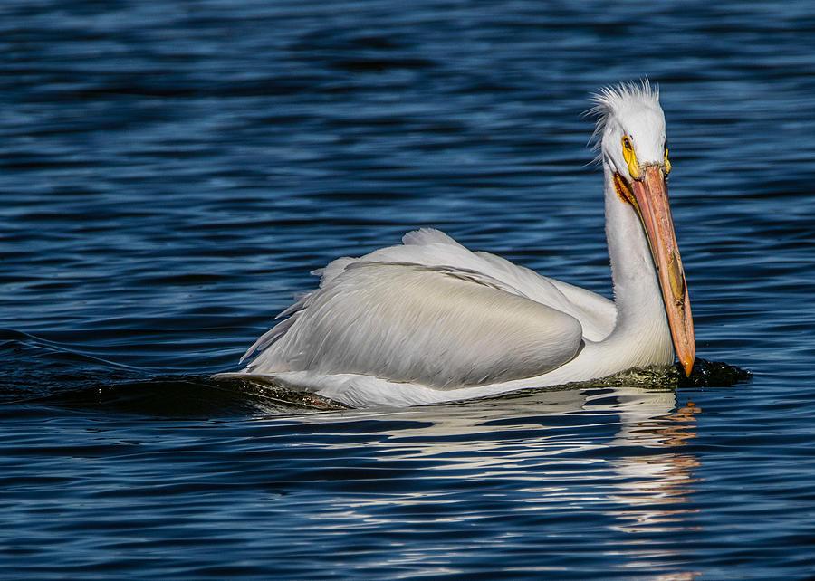 American White Pelican Photograph - Pelican Wake by Dawn Key