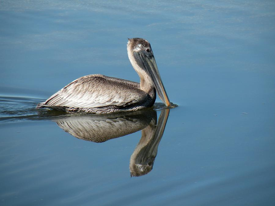 Bird Photograph - Pelican With Reflection by Rosalie Scanlon