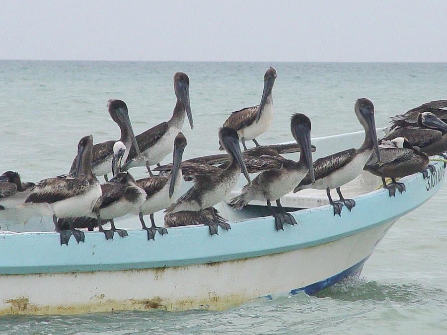 Photo Photograph - Pelicanos by Angel Ortiz