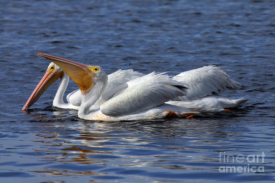 Bird Photograph - Pelicans Feeding by Rick Mann