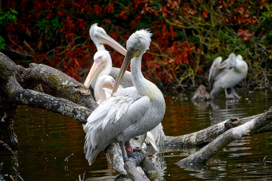 Pelicans by Ingrid Dendievel