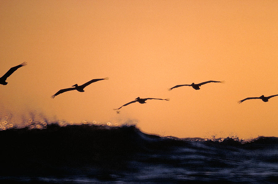 Pelicans Photograph - Pelicans Over The Pacific by Michael Mogensen