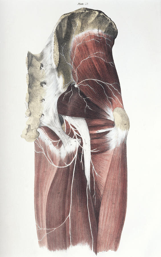 Muscle Photograph - Pelvic Spinal Nerves by Sheila Terry