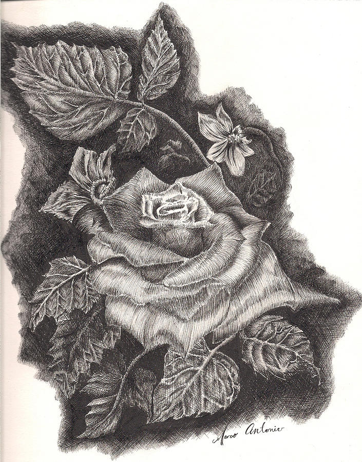 Rose Drawing - Pen And Ink Rose by Marco  Antonio