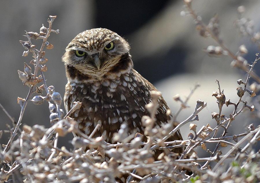 Burrowing Owl Photograph - Penetrating Eyes by Fraida Gutovich