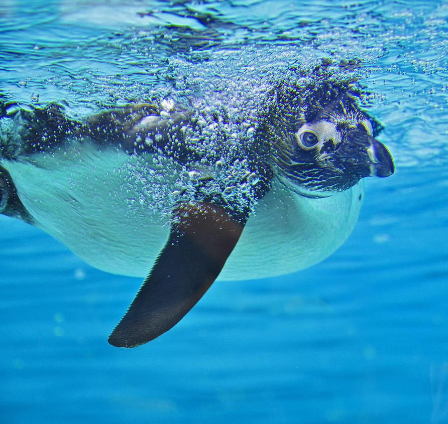 Penguin Photograph - Penguin Dive by Caroline Reyes-Loughrey