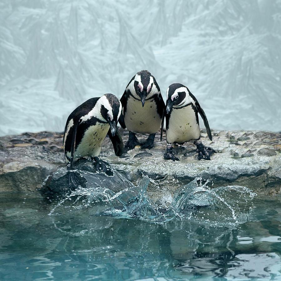 Square Photograph - Penguins by Fotografias de Rodolfo Velasco