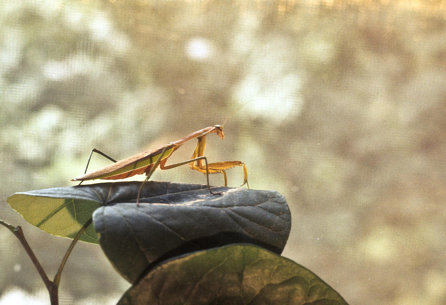 Praying Photograph - Pensive Mantis by Douglas Barnett