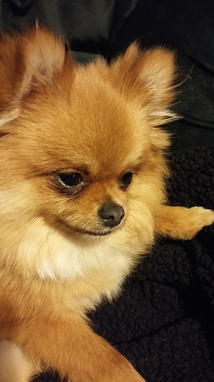 Pomeranian Photograph - Pensive Pom by Teresa Ruiz