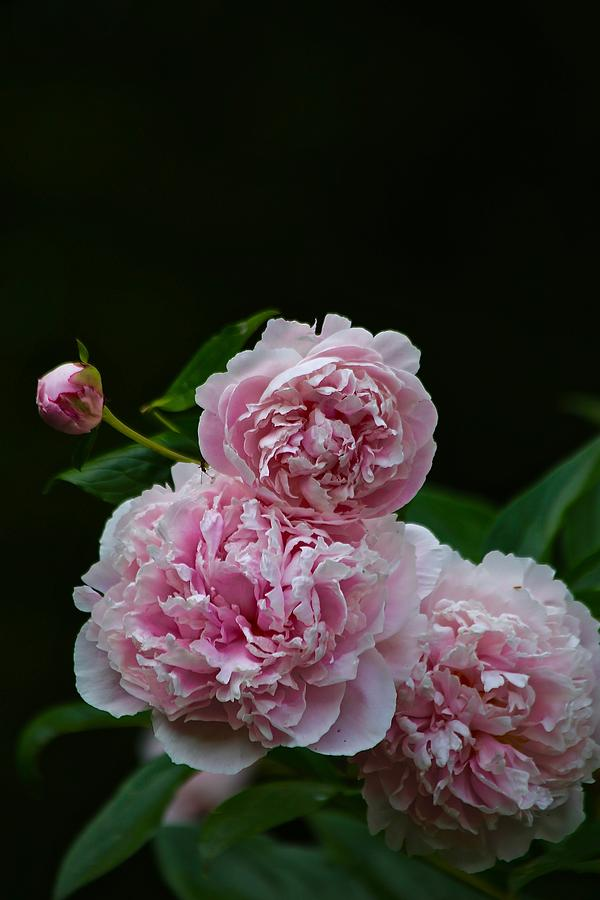 Garden Photograph - Peonies  by Gillis Cone