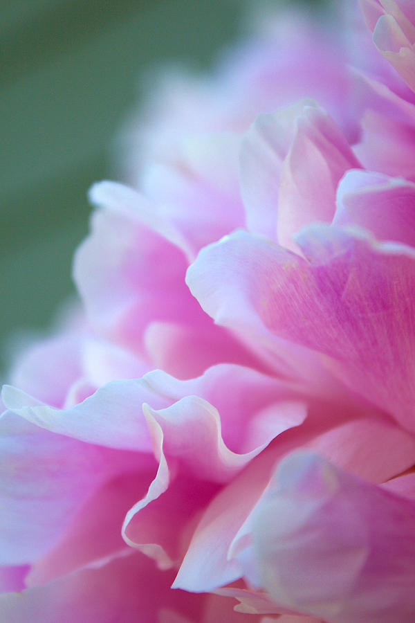 Delicacy Photograph - Peonies by Renee Ciufo