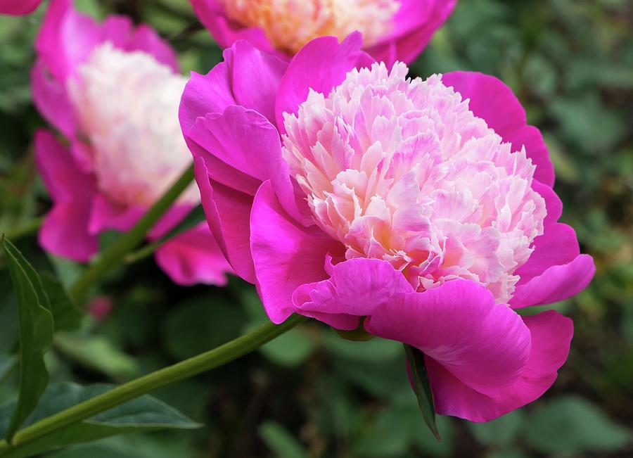 Peony by Chris Berrier