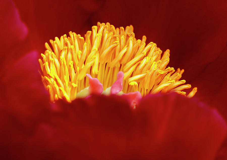 Peony Photograph - Peony Detail by George Sanquist