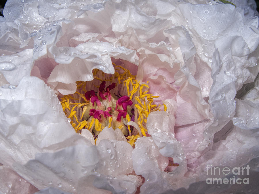 Peony Photograph - Peony In Dew by ArtissiMo Photography