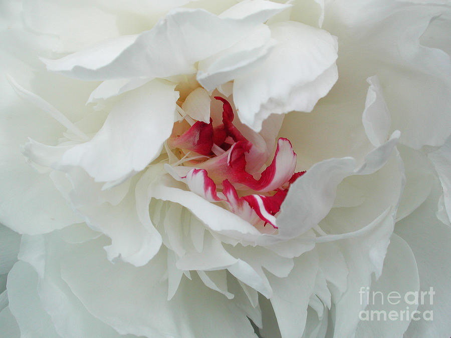 Flower Photograph - Peony by Jim Wright