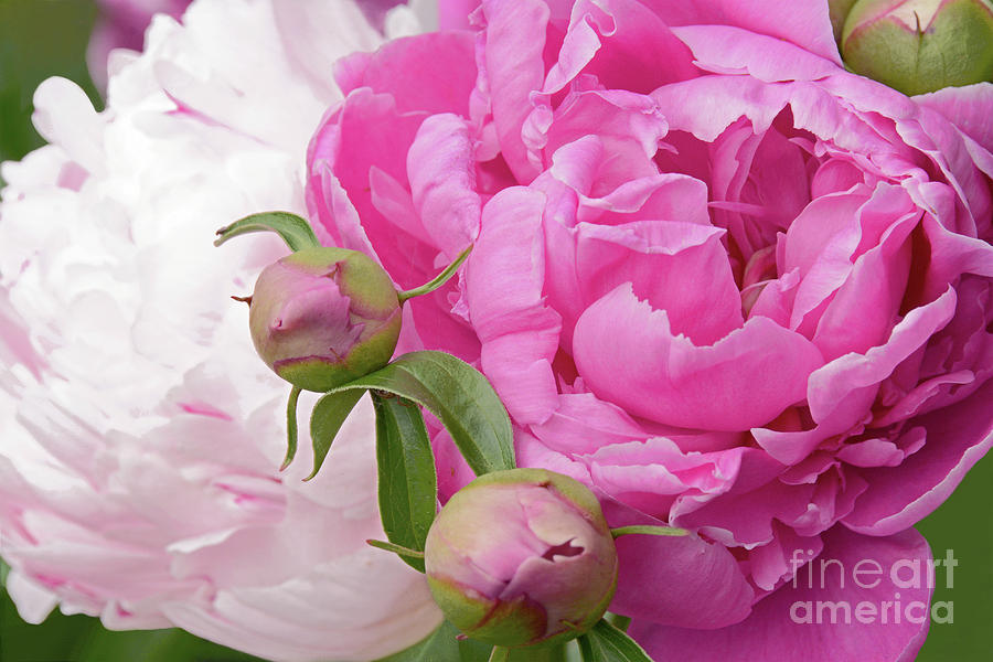 Peonies Photograph - Peony Pair In Pink And White  by Regina Geoghan