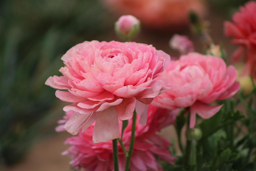 Pink Ranunculus Photograph - Peony Pink Ranunculus Closeup by Colleen Cornelius