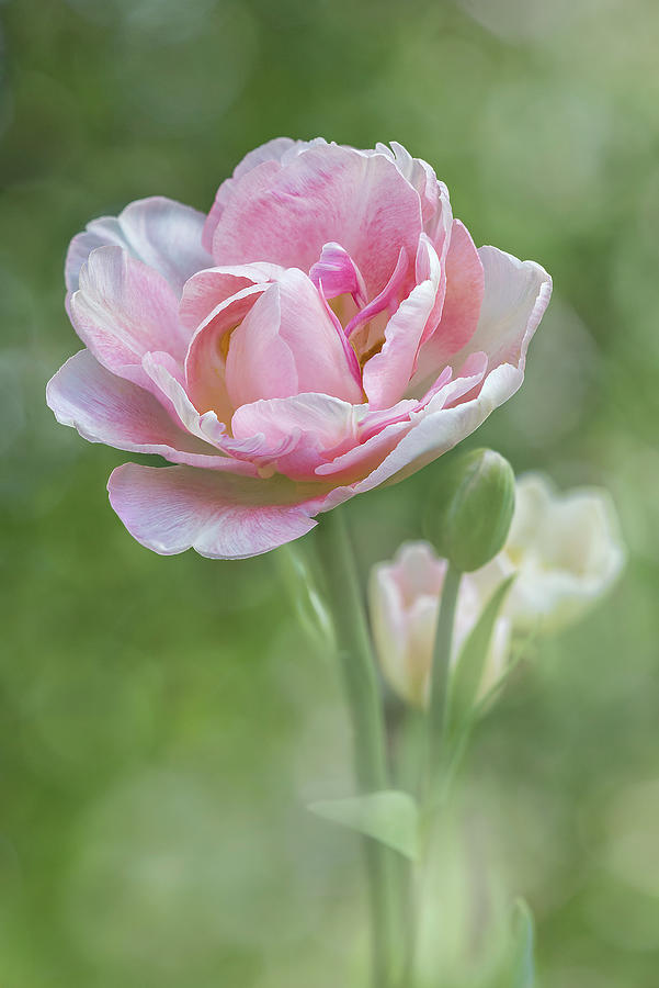 Peony Tulip - Vertical Texture Photograph