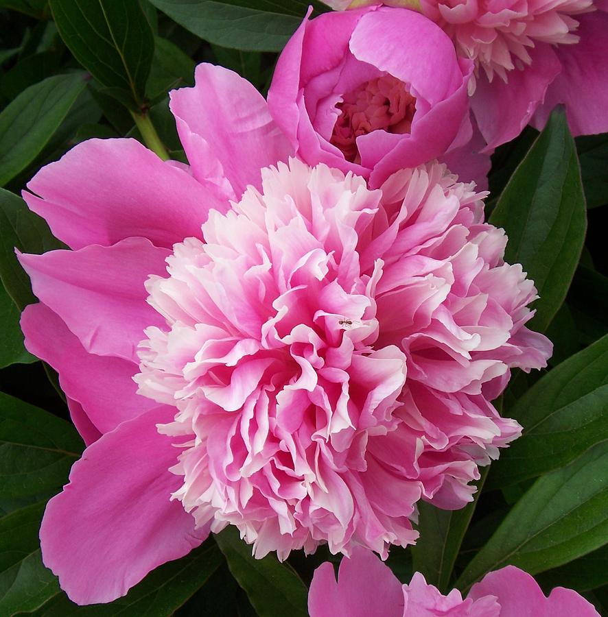 Flowers Photograph - Peony With Ant by Ellen B Pate