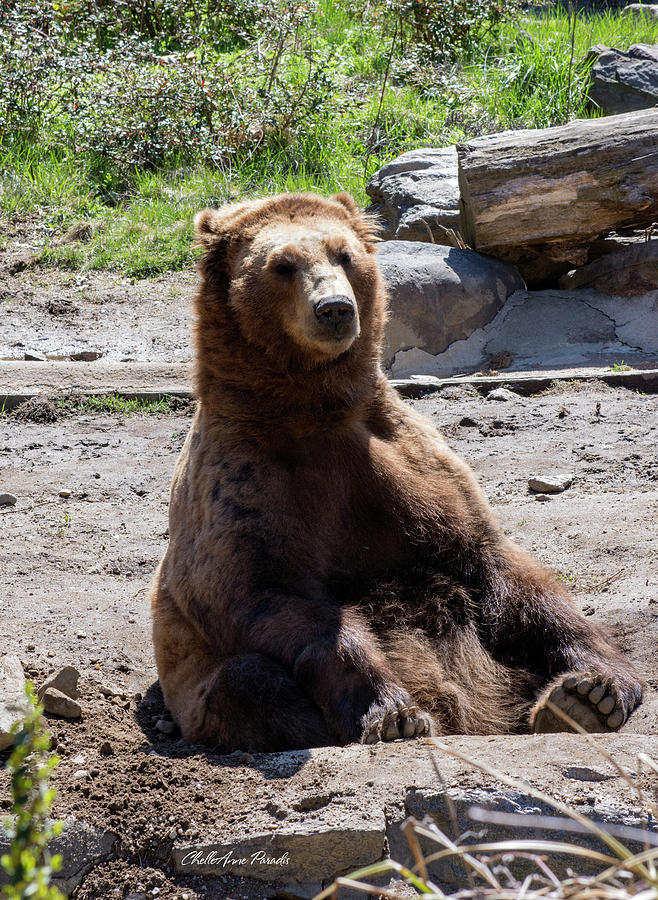 Brown Bear Photograph - People Watching by ChelleAnne Paradis