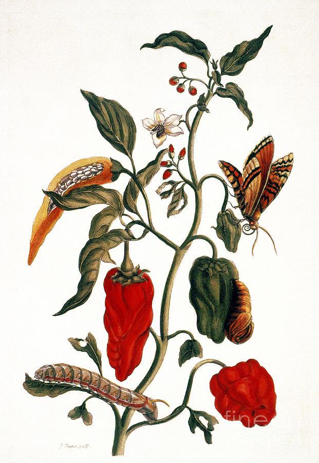 Ann Photograph - Pepper Plant by Granger