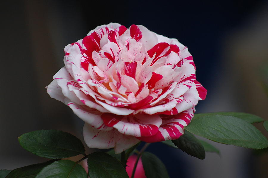 Rose Photograph - Peppermint Fantasy by Helen Carson