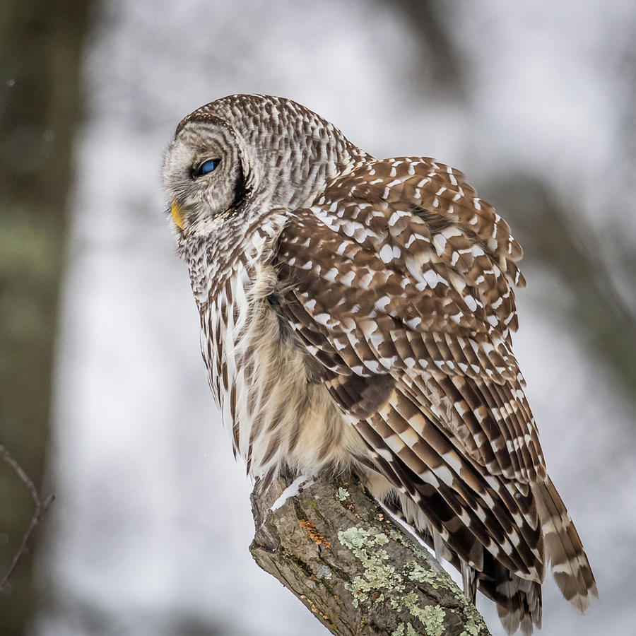 Barred Owl Photograph - Perched Barred Owl by Paul Freidlund