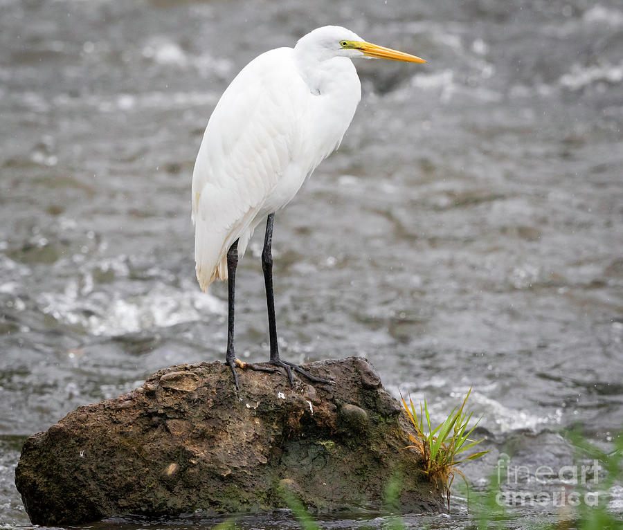 Canon Photograph - Perched Great Egret by Ricky L Jones