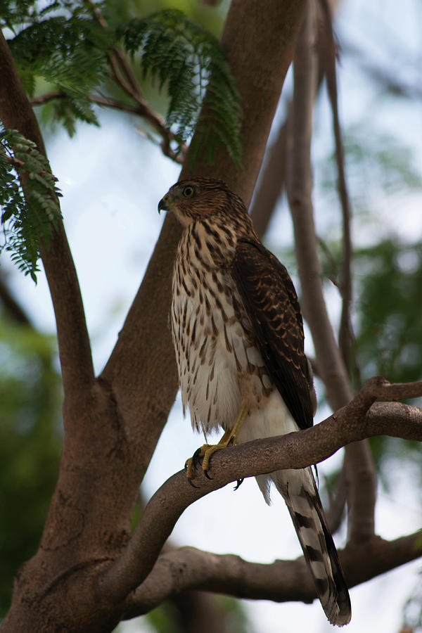 Perched Photograph - Perched Hawk by Robert Braley