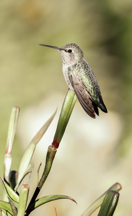 Hummingbird Photograph - Perched Hummingbird On Flower by Athena Mckinzie