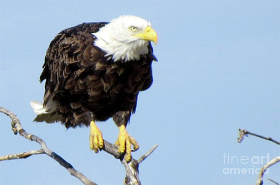 Bald Eagle Photograph - Perched On A Tree by Mary Mikawoz